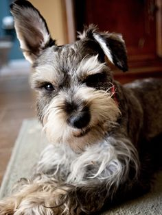 Ranked as one of the most popular dog breeds in the world, the Miniature Schnauzer is a cute little square faced furry coat. Schnauzers, Miniature Schnauzer Puppies, Schnauzer Puppy, Cute Puppies, Cute Dogs, Dogs And Puppies, Doggies, Most Popular Dog Breeds, Beautiful Dogs