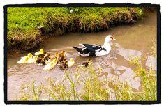Familie Ente Bird, Animals, Animales, Animaux, Birds, Animal, Birdwatching, Animais