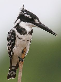 Male Pied Kingfisher. The pied kingfisher (Ceryle rudis) is a water kingfisher and is found widely distributed across Africa and Asia. Its black and white plumage, crest and the habit of hovering over clear lakes and rivers before diving for fish makes it distinctive. Males have a double band across the breast while females have a single gorget that is often broken in the middle. They are usually found in pairs or small family parties.
