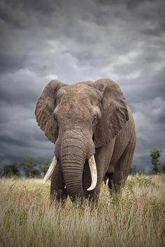 Fortaleza.  #elephant #elefante