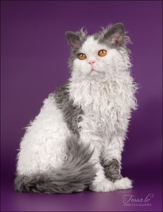 Selkirk Rex Cat. Originated in 1987 in Montana, USA. An unusually curly kitten was given to a breeder who started this unusual breed. Has two lengths of coat.