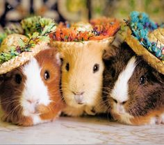 Best Guinea Pig Cage | FREE PICTURES OF GUINEA PIGS