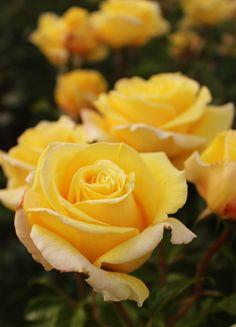 yellow roses (J Ashcroft)