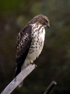 I love seeing all the hawks looking for prey when I am driving down the highway