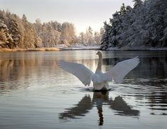 a swan on the lake in - photo by Visit Finland Kinds Of Birds, Spirit Animal, Beautiful Creatures, Animal Photography, Pet Birds, Animals And Pets, Places To Go, Tourism, Scenery