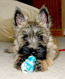 Milo with his baby kong...is there peanut butter in there? from CairnTopia via flickr