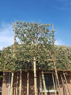 Quercus ilex Leivorm. Steeneik - groenblijvende Leiboom Backyard Ideas, Landscaping, Patio, Garden, Garden Care, Planting, Yard Landscaping, Landscape Architecture, Yard Crashers