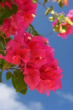 Bougainvillea 伊計島の青空とブーゲンビレア(ブーゲンビリア)