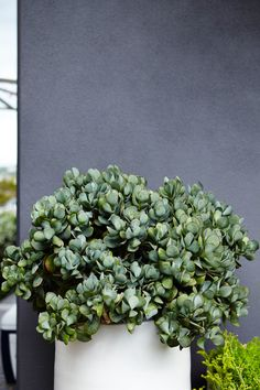 A Crassula 'Blue Bird' Erupts from a Bondi Planter in one of Outdoor Establishments Projects. Outdoor Pots, Outdoor Gardens, Outdoor Living, Indoor Gardening Supplies, Container Gardening, Potted Plants, Indoor Plants, Blue Plants, Tropical Garden Design