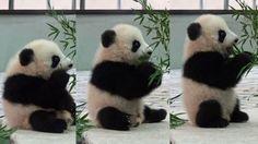 桜浜 Panda baby パンダ アド
