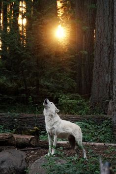 howling gray wolf | animal + wildlife photography #wolves