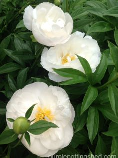 Peony trio, www.purplepottingshed.com