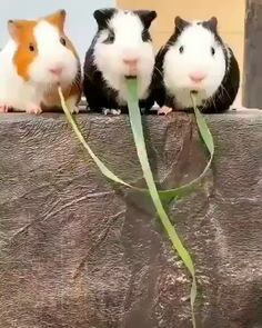Guinea pigs find out they were eating the same piece of grass On - Happy Tiere Animal Jokes, Funny Animal Memes, Funny Animal Pictures, Funny Dogs, Funny Pet Videos, Baby Videos, Funny Videos Of Animals, Funny Memes For Kids, Funny Videos For Kids