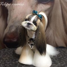 Things we admire about the Cute Shih Tzu Puppies Dog Grooming Styles, Puppy Grooming, Cute Puppies, Cute Dogs, Dogs And Puppies, Shih Tzu Puppy, Shih Tzus, Dog Haircuts, Dog Hairstyles