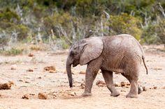 Keep Your Head Down - African Bush Elephant Keep Your Head Down - The African…