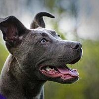 Adopt A Pet Jelly Crete Il Pets Pitbull Terrier Animal