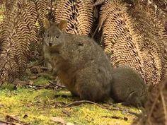 Az ördög szigete Tasmánia Tasmania, Kangaroo, Emo, Brazil, Animals, Baby Bjorn, Animales, Animaux, Emo Style