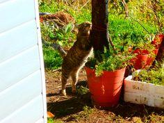 Michi, una gata callejera que nos ha cogido cariño. Normal, le damos mucho de comer, xDDDDD. Le gusta hacernos compañía en el huerto.