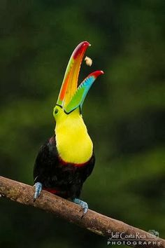 Keel billed Toucan putting on quite a performance. Reminds me of the way my Daddy would toss peanuts into his mouth. Tropical Birds, Exotic Birds, Colorful Birds, Rare Birds, Pretty Birds, Beautiful Birds, Crazy Bird, Bird Wallpaper, Dogs For Sale