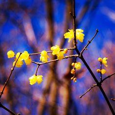 #wintersweet #winter #winterflowers #ig_flowers #superb_flowers #FlowerStalking #wp_flower #wintergram  #蝋梅
