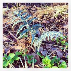 A baby artichoke plant