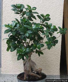 will ich geigenfeige ficus lyrata green pinterest geigenfeige pflanzen und wohnen. Black Bedroom Furniture Sets. Home Design Ideas