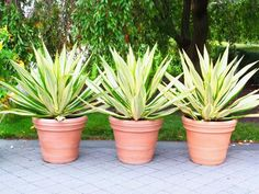 Plante exotique int rieur kentia howea forsteriana for Bouture yucca exterieur