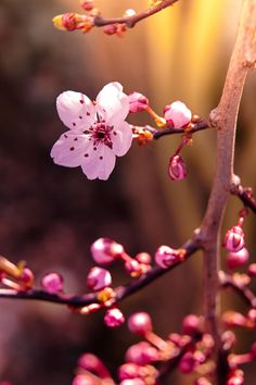 Blossoms of spring II by frau_chica Flowers Nature, Small Flowers, Pretty Flowers, Beautiful Flowers Wallpapers, Pretty Wallpapers, Sakura Cherry Blossom, Cherry Blossoms, Flower Phone Wallpaper, Flower Aesthetic