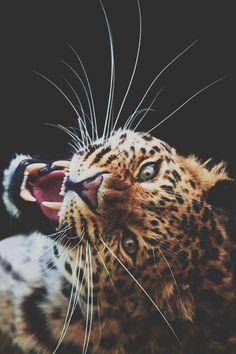 Big cats say it with a roar