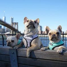 Leo and his Bro's, French Bulldogs, @frenchieleo on instagram.
