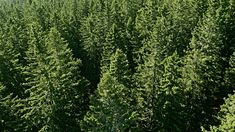 Image result for conifer trees Conifer Trees, Herbs, Image, Herb, Spice