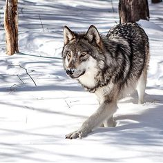 Sounds In The Silence — wolfsheart-blog:   Beautiful Wolf by R.Roselli.