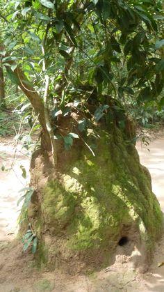 Hormiguero de termitas usado como respiradero.Túneles de Cu Chi (Cerca de Ho Chi Minh).-Fotografía:Rebeca Pizarro Hoi An, Hanoi, Vietnam, Plants, Ant Colony, Temple, Islands, Cities, Naturaleza