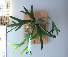 mount staghorn fern with burlap to cover moss