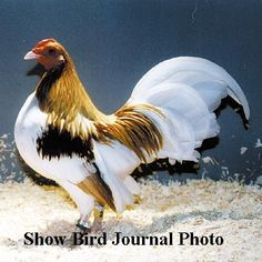 Old English and American Game Bantams - Red Pyle Old English Game Bantam Male - American Bantam Association