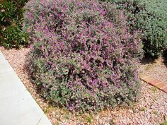 Bush Dalea, Dalea pulchra. Also Called: Santa Catalina Prairie Clover, Indigo Bush, Dalea. Xeriscape Landscaping Plants For The Arizona Desert Environment. Pictures, Photos, Information, Descriptions, Images, & Reviews. Shrubs.