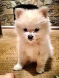 Meet penny, cutest Pom mix!!!