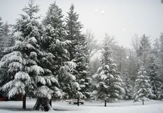 pictures of pine trees with snow - Google Search