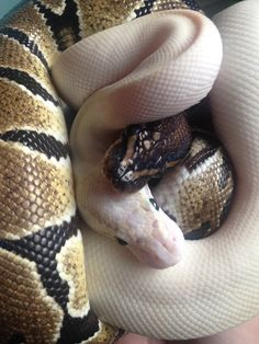 Ball of balky pythons ❤️
