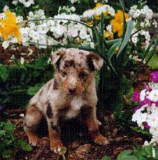 Australian Shepherd Koolie Dogs Pinterest Australian