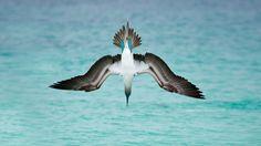 Bing Image Archive: A blue-footed booby dives off San Cristóbal Island, Ecuador (© Tui De Roy/Minden Pictures)(Bing Canada)