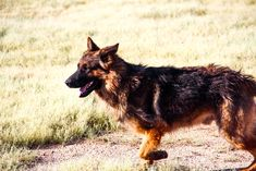 www.elitek-9.com   #germanshepherd #gsd #protectiondogs #exotics #luxurylife #czechshepherd Executive Protection, Working Dogs, German Shepherds, Dog Training, Puppies, Animals, Cubs, Animales, Animaux