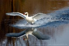 Mute swan landing on water High Speed Elegance Cygnus Olor, Aquatic Birds, Mute Swan, Photo To Art, Animal Totems, Bird Art, Animals For Kids, High Speed, Online Art Gallery