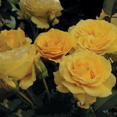 Doris Day® Rose