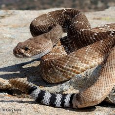Crotalus ruber 	Red Diamond Rattlesnake