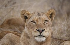 No matter the species, teenagers have the same moody look - Lions in Londolozi Private Game Reserve, South Africa - Sebastian Lescano Photography