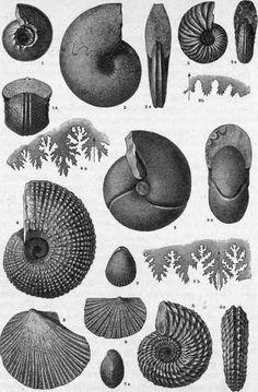 Plate XIII. Triassic Invertebrate Fossils.