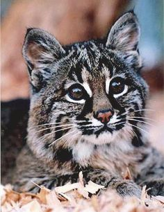 Bobcat- I swear my old Oscar cat has bobcat in him!