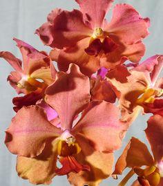 Terete Vanda Orchids | Cut Flowers, Others