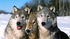 【画像あり】オオカミたちの「モフサンド」が可愛すぎるwwwwwwww : 【2ch】ニュー速クオリティ